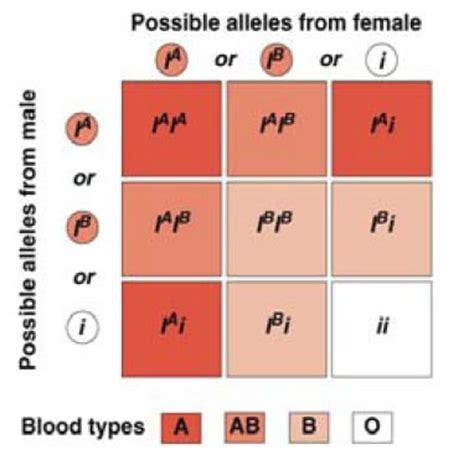 Blood type and inheritance homework answers